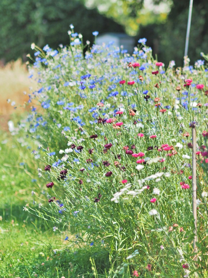 Flower Meadow brimming with Cornflowers in shades of blues, pinks and white