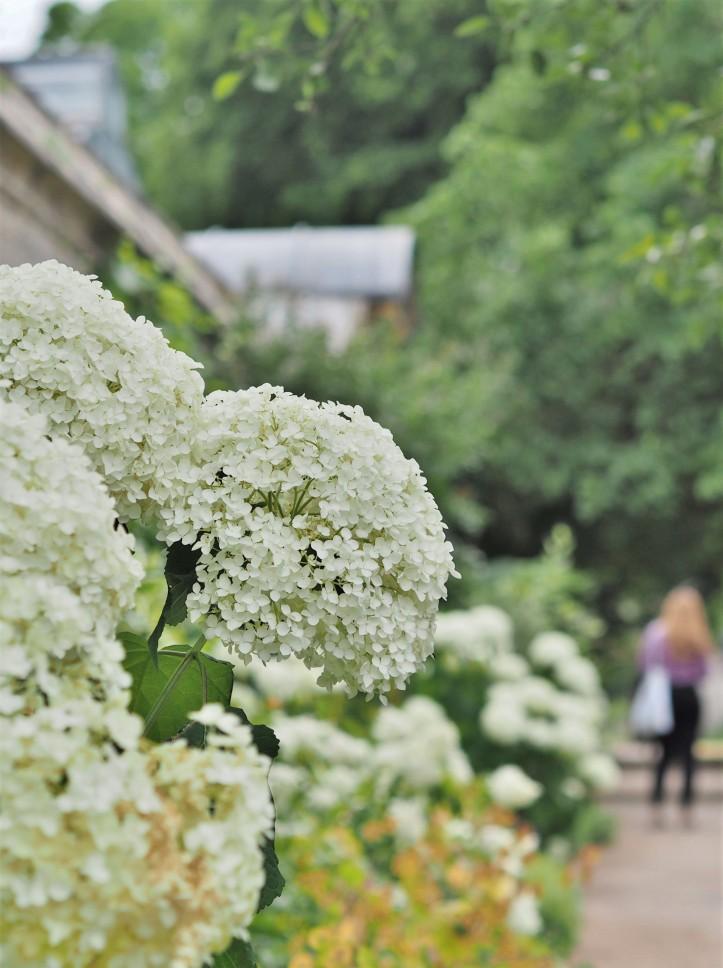 White flowers at Oxford Botanic Garden