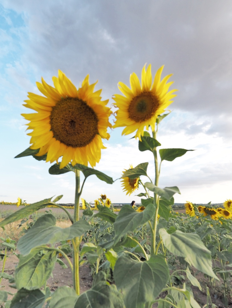 Sunflowers standing tall against a cloudy blue sky