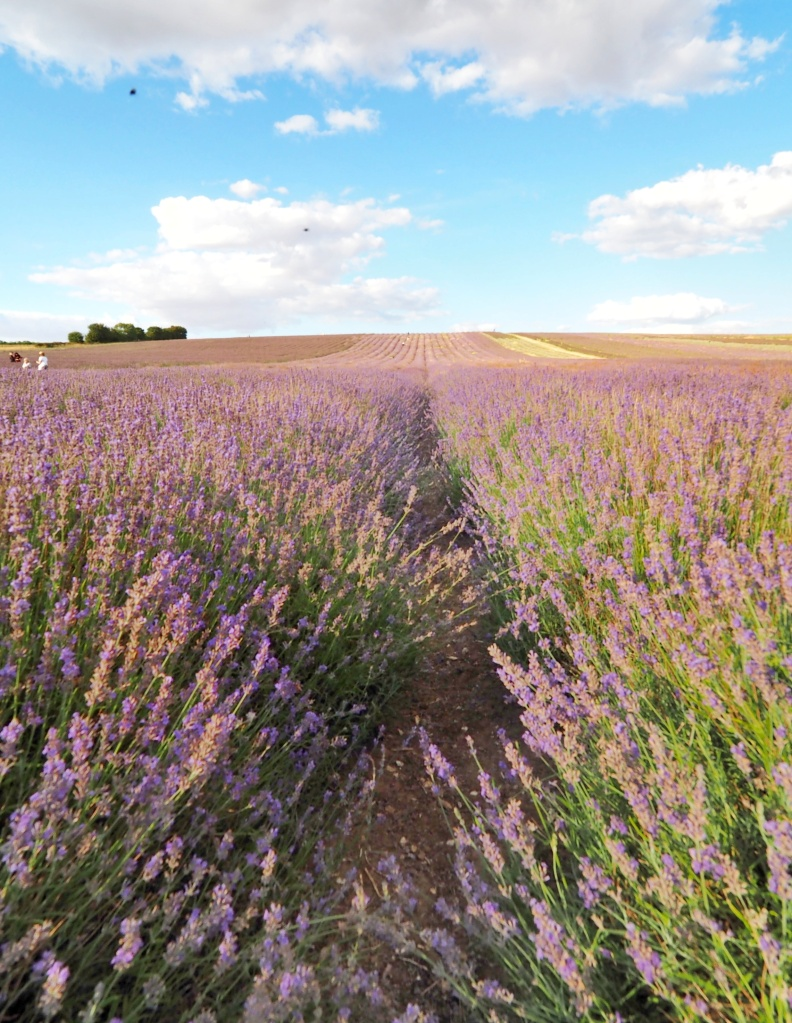 Field of lavender. Blue skies